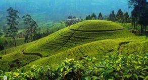 Tea plantation in up country near Nuwara Eliya, Sri Lanka. Tea cultivation in upcountry Sri Lanka royalty free stock images