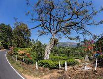 Tea plantation valley Royalty Free Stock Images