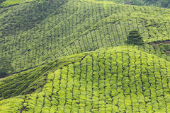 Tea plantation within valley Stock Image