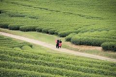 Tea plantation in Vietnam Stock Photos