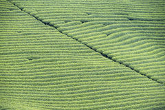 Tea plantation in Vietnam Royalty Free Stock Photography