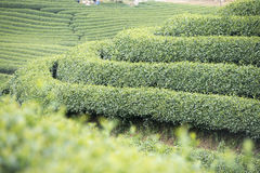 Tea plantation in Vietnam Stock Images