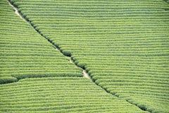 Tea plantation in Vietnam Royalty Free Stock Images