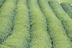 Tea plantation in Vietnam Stock Image