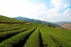 Tea plantation view. In Chiang Rai,Thailand royalty free stock image