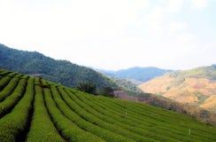 Tea plantation view. In Chiang Rai,Thailand stock photos