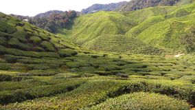 Tea Plantation. View from lower part of tea plantation on a hill Royalty Free Stock Photos