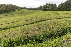 Tea plantation. View of part of a tea plantation on the island of Sao Miguel in the Azores, Portugal stock image