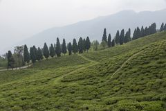 Tea Plantation view from Resort near Temi,Sikkim,India. Asia stock photo