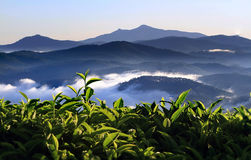 Tea Plantation. In a village in the south of vietnam Royalty Free Stock Image