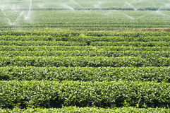 Tea plantation. Royalty Free Stock Image