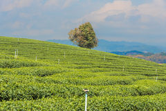 Tea plantation and water sprinklers. With sky in background royalty free stock image