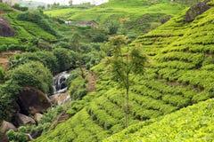 Tea plantation with waterfall Stock Photo