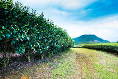The tea plantation by way Royalty Free Stock Image