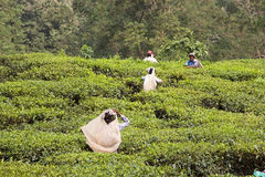 Tea plantation, West Bengal, India. Manual harvesting in the tea plantation in West Bengal, India. Agriculture accounts for the largest share of labour force in Stock Photos