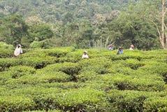 Tea plantation, West Bengal, India Royalty Free Stock Image