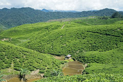 Tea Plantation. In West Java, Indonesia Stock Photo