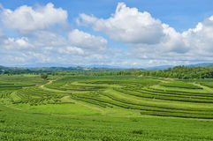 Tea plantation. Royalty Free Stock Photo