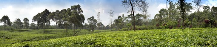 Tea plantation in Wonosobo. Indonesia, Java.  royalty free stock photography