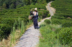 Tea Plantation Worker in LongJing Stock Images