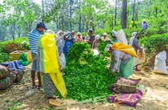 Tea plantation workers Stock Photography
