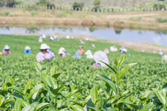 Tea plantation and workers Royalty Free Stock Photos