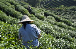 Tea Plantation Workers Royalty Free Stock Images