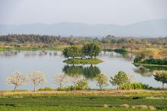 Tea plantation with yellow cotton tree with swan in lake. Scenery tea plantation with yellow cotton tree with swan in lake stock photography