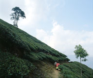 Tea plantations 07 Stock Photo