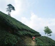 Tea plantations 07. Tea plantations in the north of India Stock Photo
