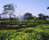 Tea plantations 12. Tea plantations in the north of India Royalty Free Stock Image