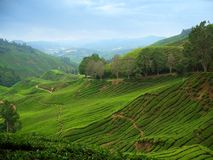 Tea plantations stock image