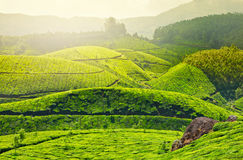 Tea plantations. In morning fog. Munnar, Kerala, India stock images