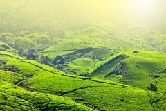 Tea plantations Royalty Free Stock Photo