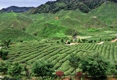 Tea Plantations. At Cameron Highlands Malaysia royalty free stock photography
