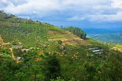 Tea plantations. In Sri Lanka Royalty Free Stock Image