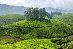 Tea plantations. Landscape, Munnar, Kerala, India stock photos