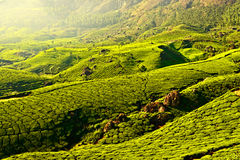 Tea plantations. In state Kerala, India Stock Images