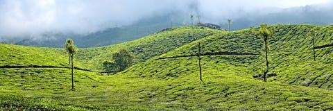 Tea plantations Stock Image