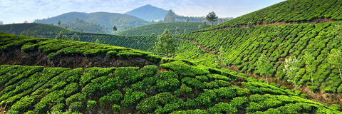 Tea plantations Royalty Free Stock Photo