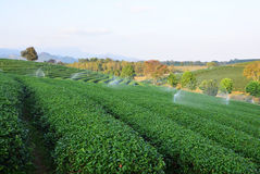 Tea plantations.  Stock Image