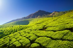 Tea plantations. Beautiful green tea plantations in Munnar, Kerala, India stock photos