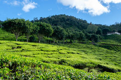 Tea plantations with blue sky in Cameron Highlands Stock Photos