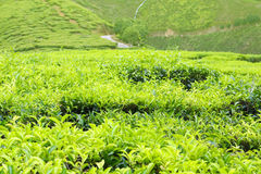 Tea plantations in cameron highland, malaysia Stock Photo