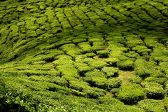 Tea plantations, cameron highlands royalty free stock photo
