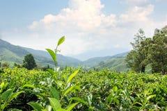 Tea plantations, Cameron Highlands, landmark of Malaysia. Stock Image