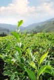 Tea plantations, Cameron Highlands, landmark of Malaysia. Royalty Free Stock Image