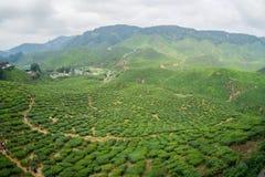 Tea Plantations Cameron Highlands Stock Photography