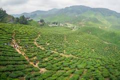 Tea Plantations Cameron Highlands Royalty Free Stock Photo