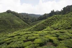 Tea plantations on Cameron Highlands. Tanah Rata, Malaysia. Royalty Free Stock Photos